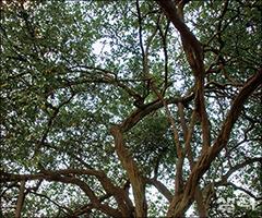 상생의 지혜가 깃든 한 쌍의 탱자나무