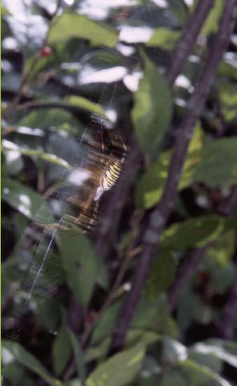 9호 나도 곤충 파브르-탁월한 전략가 긴호랑거미를 만나자!