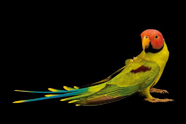 인간을 닮은 앵무새